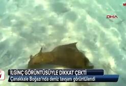 Çanakkale Boğazında deniz tavşanı görüntülendi