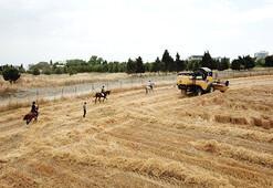 55 at için üniversitedeki ilk hasat