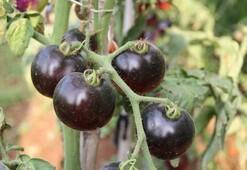 Siyah domates görenleri şaşırtıyor