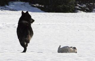 Vahşi bir kurt ile bir köpek karşı karşıya gelirse ne olur
